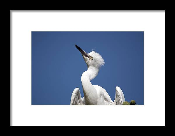 Birds Framed Print featuring the photograph Regal Snowy Egret by Kenneth Albin