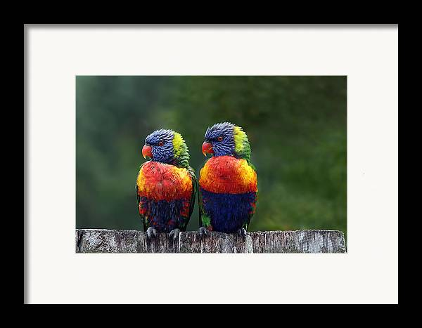 Lorikeets Framed Print featuring the photograph Rendezvous In The Rain by Lesley Smitheringale