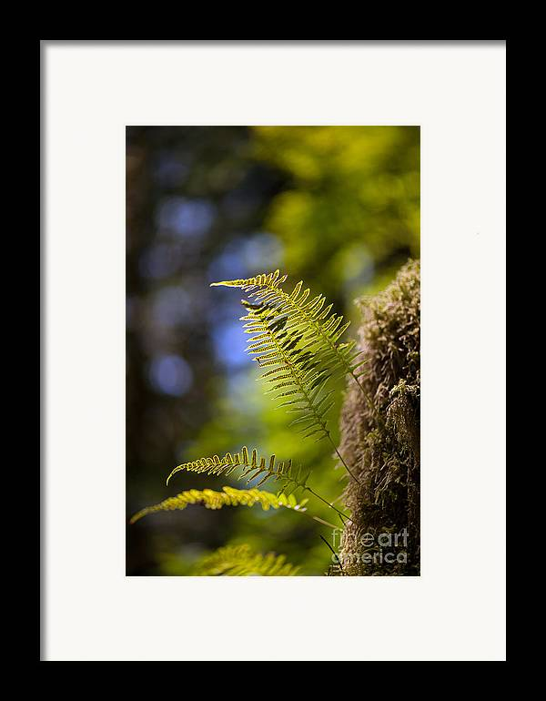 Forest Framed Print featuring the photograph Renewal Ferns by Mike Reid