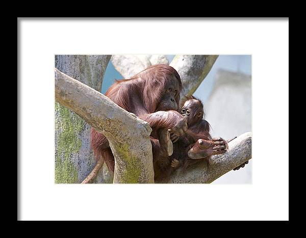 Primates Framed Print featuring the photograph Rest Time by Robert Joseph