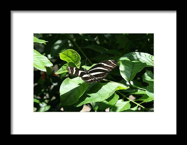 Black Framed Print featuring the photograph Resting - Black And White Butterfly by Lynn Michelle