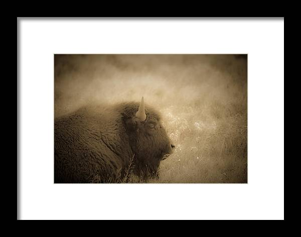 Bison Framed Print featuring the photograph Resting Buffalo by Patrick Flynn