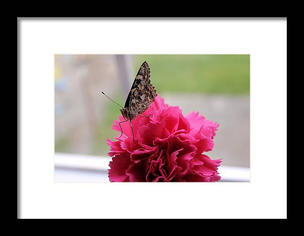 Carnation Framed Print featuring the photograph Resting Butterfly by Myrna Migala