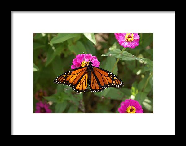 Butterfly Framed Print featuring the painting Resting by Debbie May