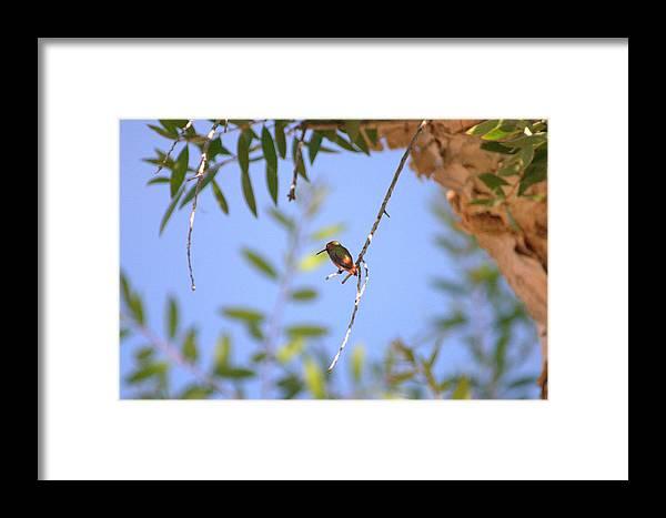 Hummingbird Framed Print featuring the photograph Resting Hummingbird by Brad Scott