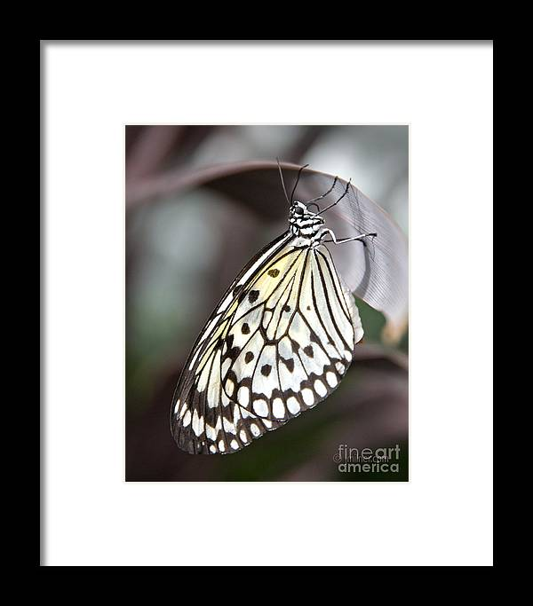 Butterfly Framed Print featuring the photograph Resting by Jacqueline Milner
