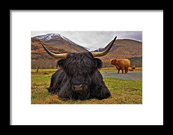 Cattle Framed Print featuring the photograph Resting Place by Colette Panaioti