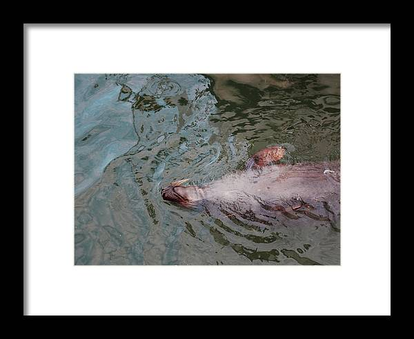 Resting Seal Framed Print featuring the photograph Resting Seal by Imagery-at- Work