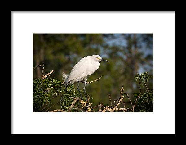 Snowy Egret Framed Print featuring the photograph Resting Snowy Egret by Chad Davis