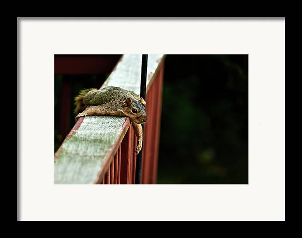 Eastern Fox Squirrel Framed Print featuring the photograph Resting Squirrel by Onyonet Photo Studios