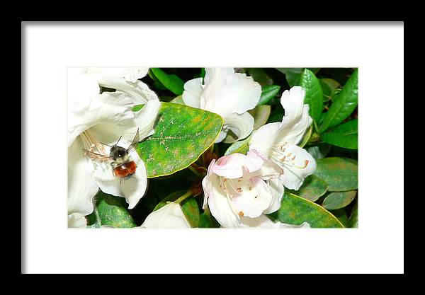 Bee Framed Print featuring the photograph Rhododendron And Bee by Larry Keahey