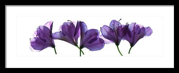 Lavender Framed Print featuring the photograph Rhody Ballet-purple by Vita Mancusi