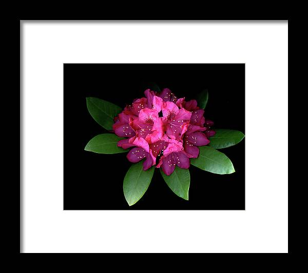 Red Framed Print featuring the photograph Rhody Queen - Red by Vita Mancusi