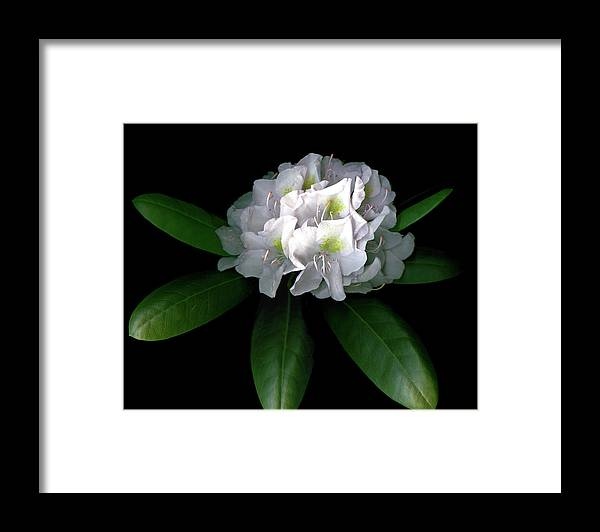 Rhododendron Framed Print featuring the photograph Rhody Queen - White by Vita Mancusi