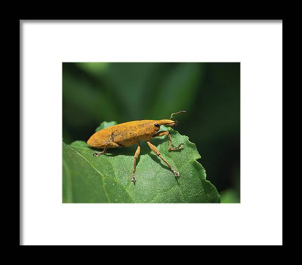 Rhubarb Weevil Framed Print featuring the photograph Rhubarb Weevil by David Lamb