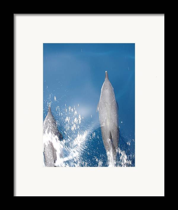 Dolphins Framed Print featuring the photograph Riding The Bow by Chad Natti