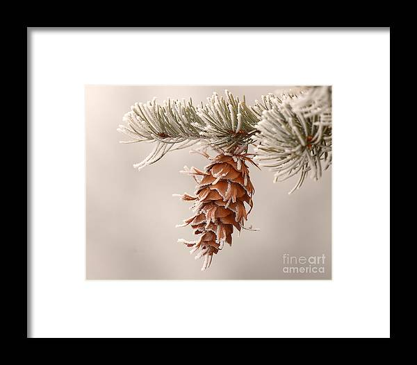Spruce Framed Print featuring the photograph Rime Ice Lightly Clinging To Spruce Cone by Max Allen