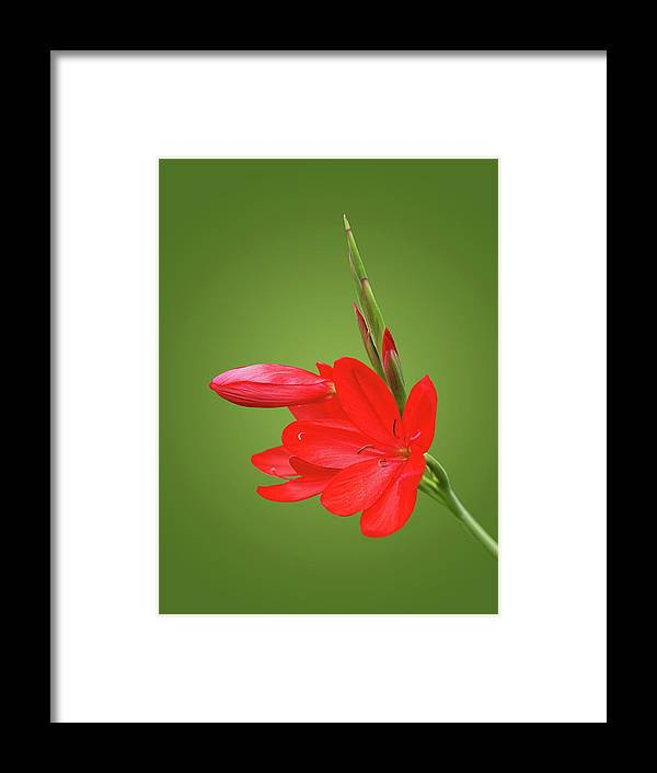 Red Lily Framed Print featuring the photograph Ritzy Red by Gill Billington