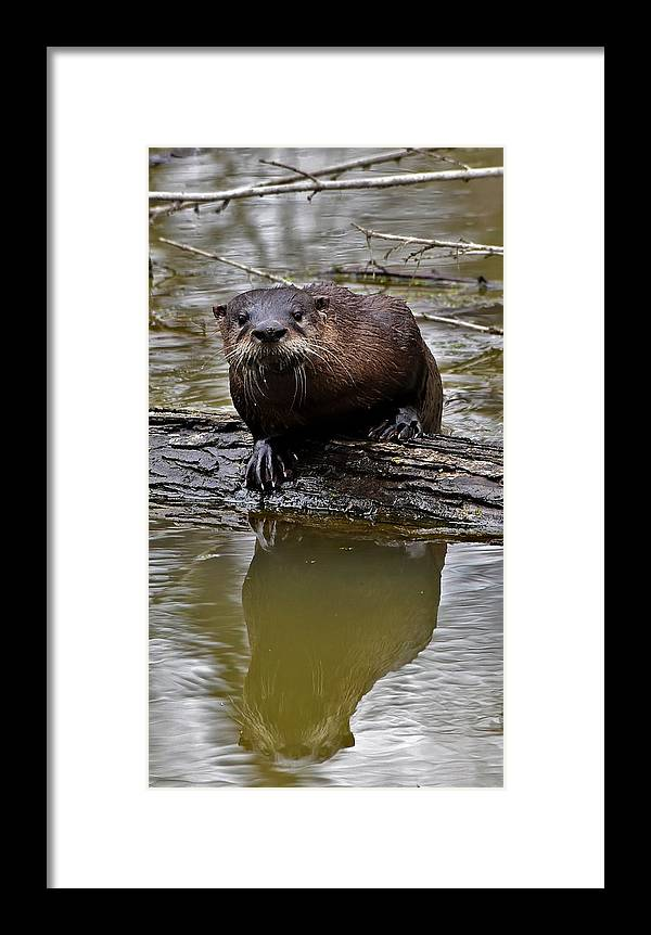 Otter Framed Print featuring the photograph Rive Otter by Dwight Eddington