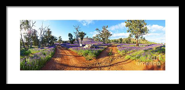 Salvation Jane Pattersons Curse Willow Springs Station Flinders Ranges Wild Flowers Fork In The Road Dirt Trakcs Ausralia South Australian Landscape Landscapes Pano Panorama Panoramic Framed Print featuring the photograph Roads To Salvation Jane by Bill Robinson