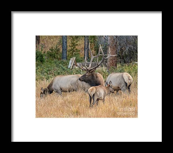 Mammal Framed Print featuring the photograph Rocky Mountain Elk by Dennis Hammer