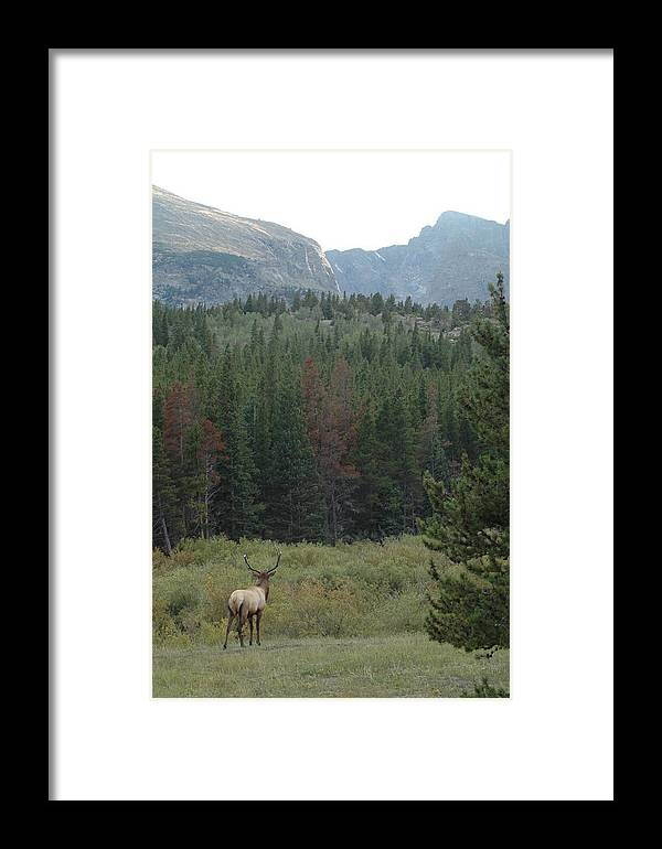 Elk Framed Print featuring the photograph Rocky Mountain Elk by Kathy Schumann