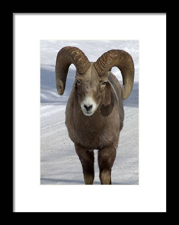 Bighorn Ram Framed Print featuring the photograph Rocky Mountain Ram In Winter by Tiffany Vest