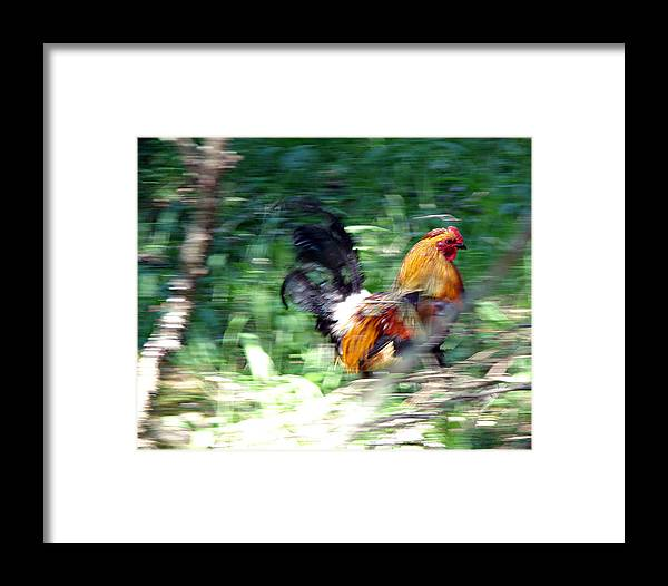Rooster Framed Print featuring the photograph Rooster On The Island by Diana Douglass
