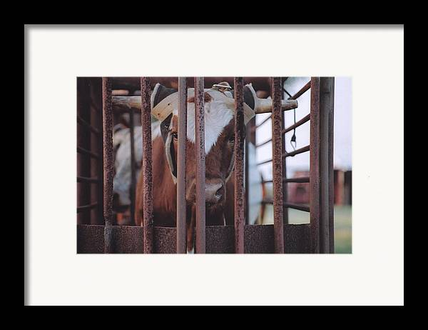 Steer Framed Print featuring the photograph Roping Event 2 by Wendell Baggett