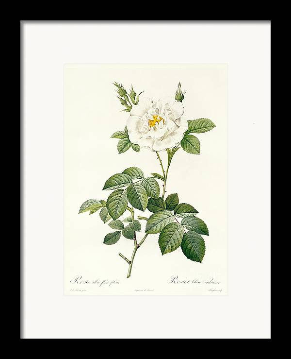 Rosa Framed Print featuring the drawing Rosa Alba Flore Pleno by Pierre Joseph Redoute