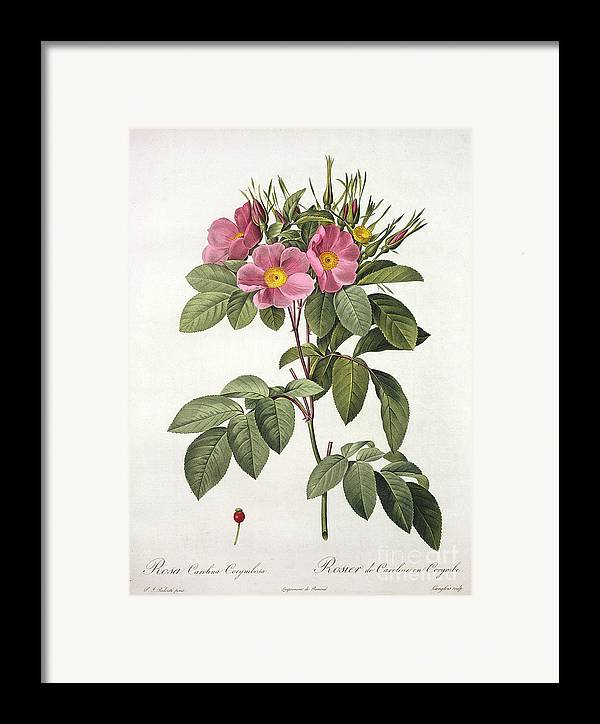 Rosa Framed Print featuring the drawing Rosa Carolina Corymbosa by Pierre Joseph Redoute