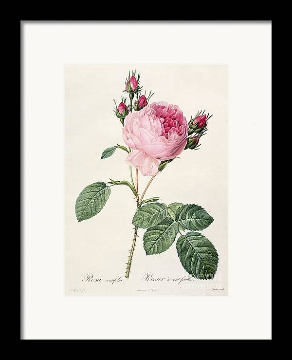 Rosa Framed Print featuring the drawing Rosa Centifolia by Pierre Joseph Redoute