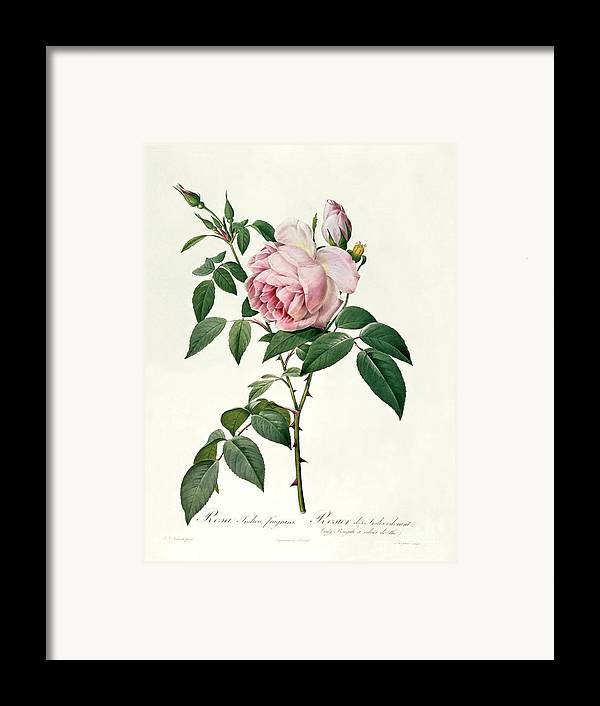 Rosa Framed Print featuring the drawing Rosa Chinensis And Rosa Gigantea by Joseph Pierre Redoute