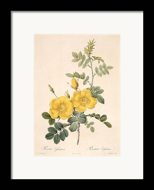 Rosa Framed Print featuring the drawing Rosa Eglanteria by Pierre Joseph Redoute