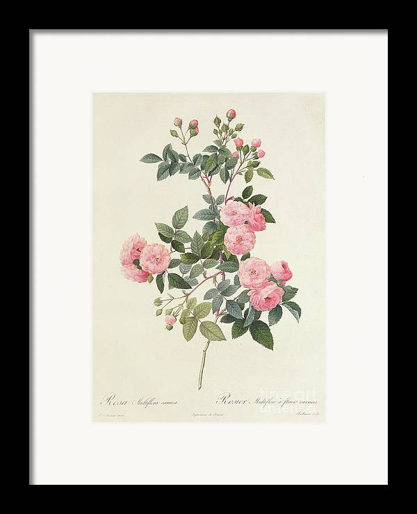 Rosa Framed Print featuring the drawing Rosa Multiflora Carnea by Pierre Joseph Redoute