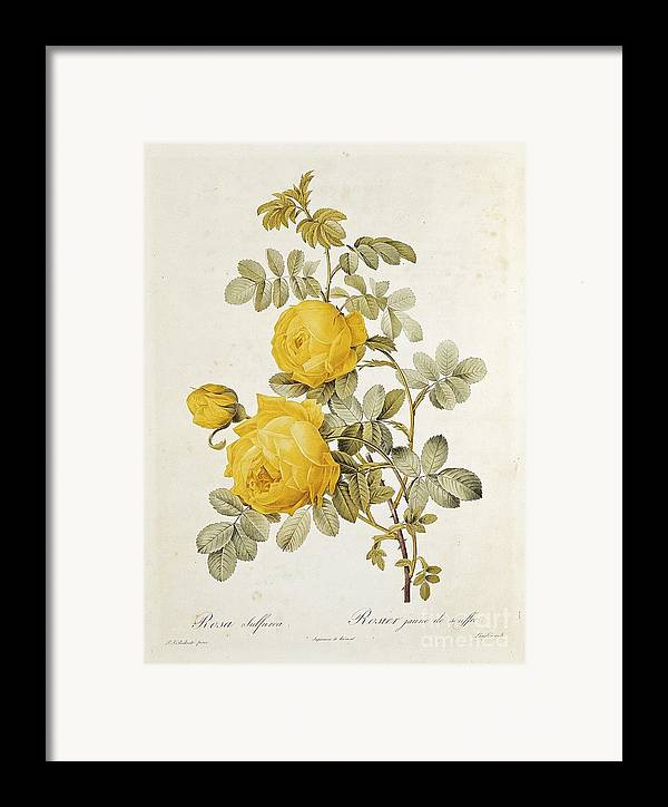 Rosa Framed Print featuring the drawing Rosa Sulfurea by Pierre Redoute