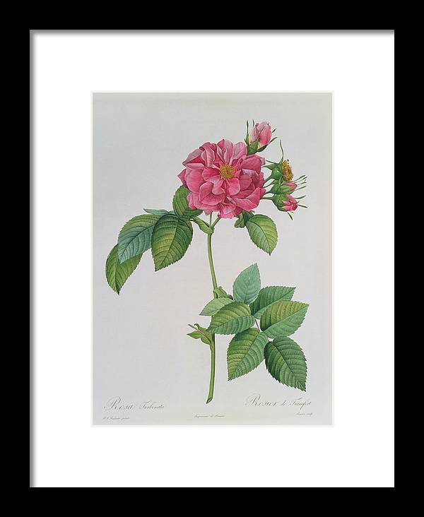 Rosa Framed Print featuring the drawing Rosa Turbinata by Pierre Joseph Redoute