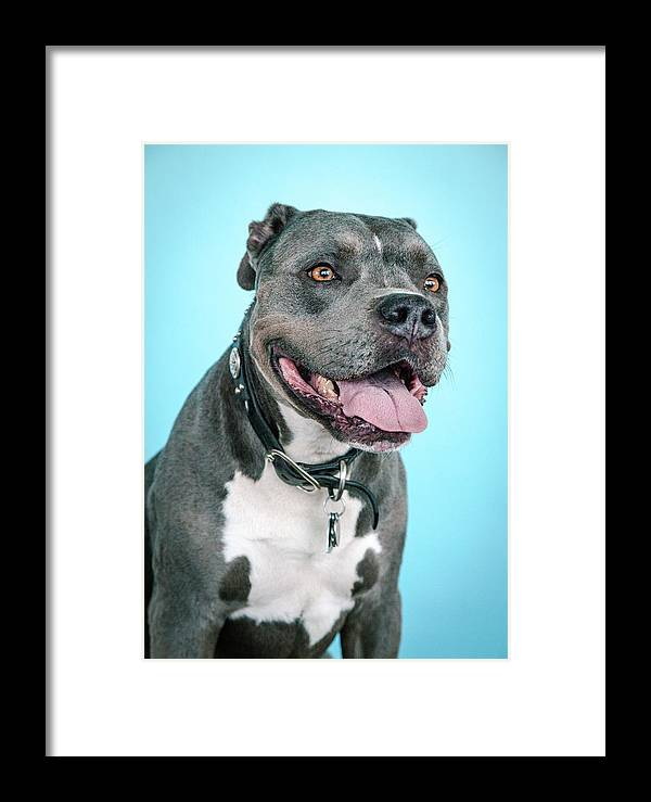 Dogs Framed Print featuring the photograph Rascal by Pit Bull Headshots by Headshots Melrose