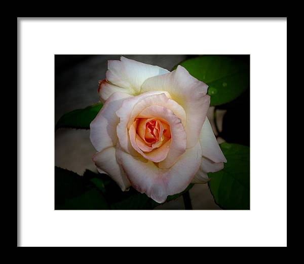 Rose Framed Print featuring the photograph Rose Blushing After Rain by B Nelson
