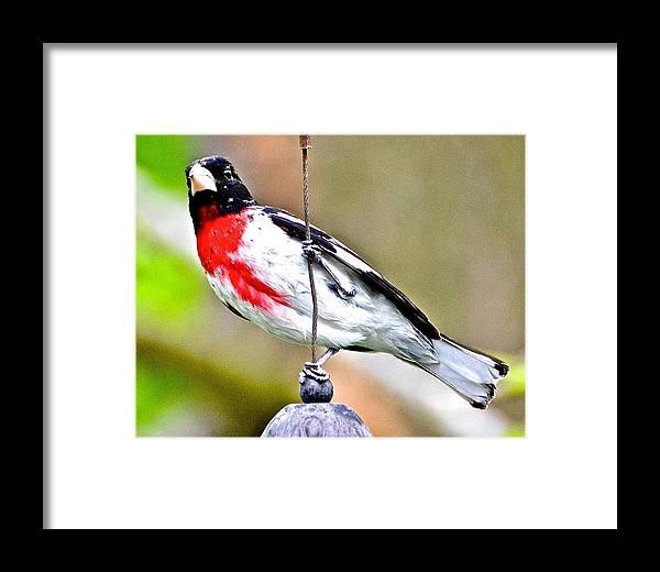 Rose-breasted Grosbeak Framed Print featuring the photograph Rose-breasted Grosbeak by Danielle Sigmon