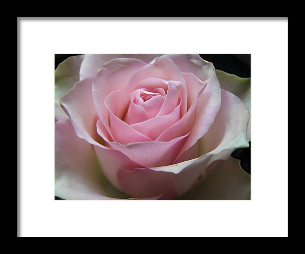 Rose Framed Print featuring the photograph Rose by Daniel Csoka