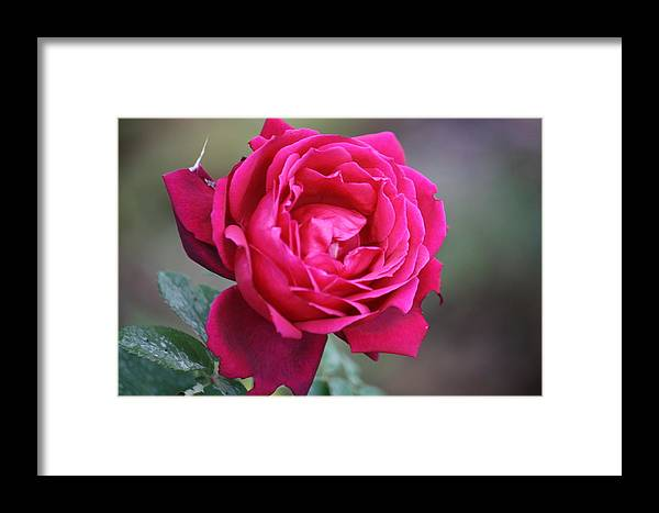 Floral Framed Print featuring the photograph Rose by Donna Walsh