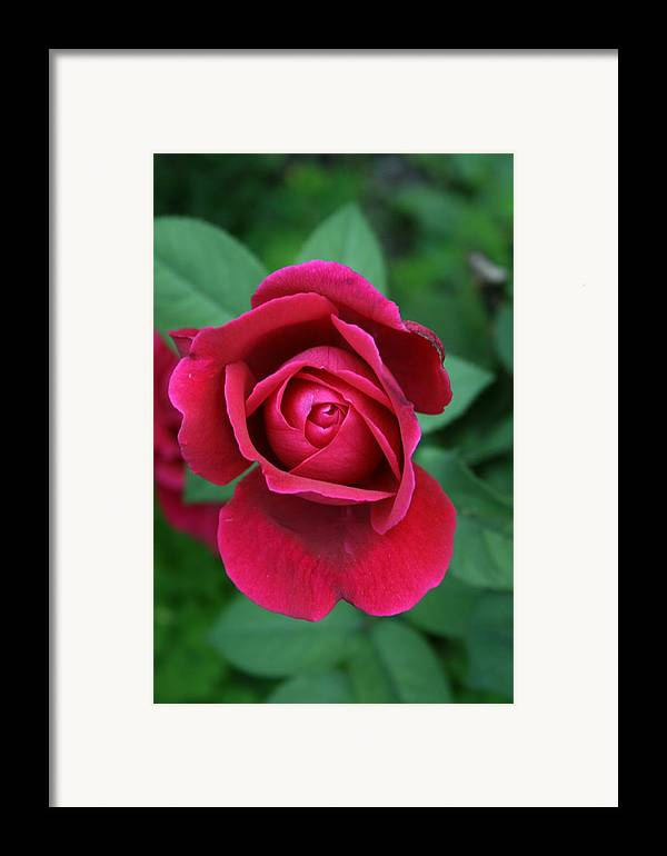Flowers Framed Print featuring the photograph Rose Eye by Alan Rutherford