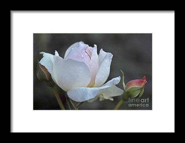 Rose Framed Print featuring the photograph Rose Flower Series 14 by Heiko Koehrer-Wagner