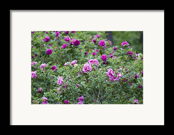 Garden Framed Print featuring the photograph Rose Garden by Frank Tschakert