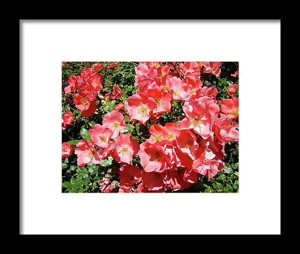 Rose Framed Print featuring the photograph Rose Garden Pink Roses Botanical Landscape Baslee Troutman by Baslee Troutman