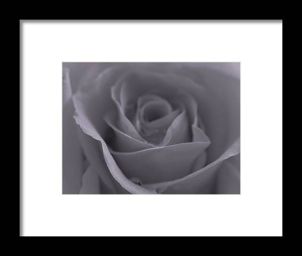 Rose Framed Print featuring the photograph Rose In Black And White by Juergen Roth