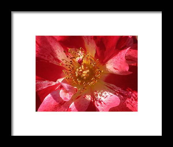 Rose Framed Print featuring the photograph Rose In Pink by Alfred Ng