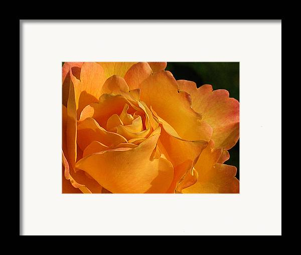 Rose Framed Print featuring the photograph Rose In Ruffles by Mg Blackstock