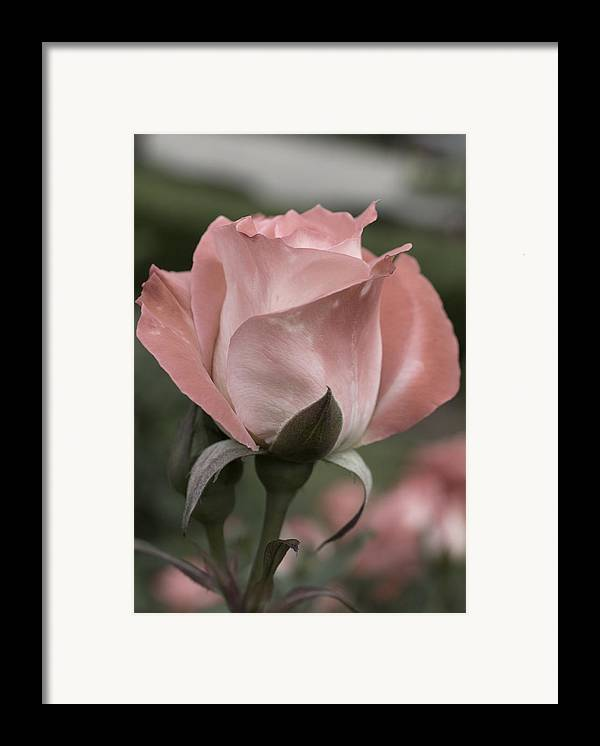 Rose Framed Print featuring the photograph Rose by Jessica Wakefield